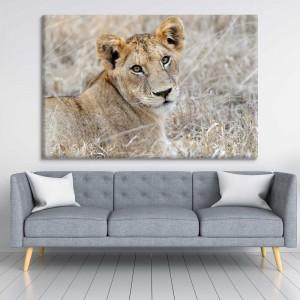 Proud lioness